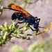 Milde's Tarantula-hawk Wasp - Photo (c) Tom Barnes, all rights reserved