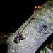 Ophiocordyceps australis - Photo (c) Diego Balbuena, todos os direitos reservados