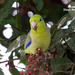 Pacific Parrotlet - Photo (c) Diego Balbuena, all rights reserved