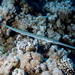 Bluespotted Cornetfish - Photo (c) João Pedro Silva, some rights reserved (CC BY-NC-ND)
