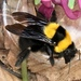 Clay Bumble Bee - Photo (c) Besnik Fetiu, all rights reserved