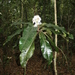 Rudgea macrophylla - Photo (c) Marco Pellegrini, all rights reserved