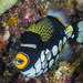 Clown Triggerfish - Photo (c) zsispeo, some rights reserved (CC BY-NC-SA)