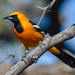Hooded Oriole - Photo (c) Marc Faucher, all rights reserved