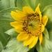 Wyethia glabra - Photo (c) Wayne Woodbury, todos los derechos reservados