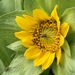 Wyethia glabra - Photo (c) Wayne Woodbury, כל הזכויות שמורות