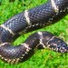 Common Kingsnake - Photo (c) mikevanvalen, all rights reserved, uploaded by Mike VanValen