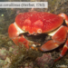 Batwing Coral Crab - Photo (c) Guido Grimaldi, all rights reserved