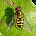 Common Hover Flies - Photo (c) Miranda Engelshoven, all rights reserved