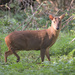 Reeves's Muntjac - Photo (c) pneuch, all rights reserved