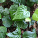 Canary Islands Ivy - Photo (c) inattie, all rights reserved