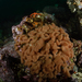 Cystodytes lobatus - Photo (c) Phil Garner, all rights reserved