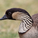Hawaiian Goose - Photo (c) Nagi Aboulenein, all rights reserved