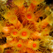 Yellow Cluster Anemone - Photo (c) João Pedro Silva, all rights reserved