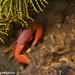Trapezia cymodoce - Photo (c) Tim Cameron, todos los derechos reservados
