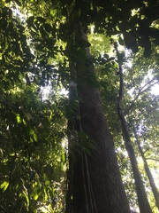 Caryocar costaricense image