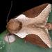 Prolimacodes badia - Photo (c) gernotkunz, todos los derechos reservados