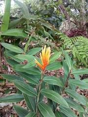 Image of Heliconia longiflora