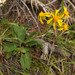 Tall Western Groundsel - Photo (c) faerthen, all rights reserved, uploaded by faerthen
