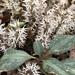 Pachysandra procumbens - Photo (c) lovescinow, todos los derechos reservados