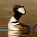 Hooded Merganser - Photo (c) Carissa Ward, all rights reserved