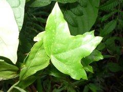 Passiflora megacoriacea image