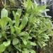 Micranthes micranthidifolia - Photo (c) Sam Pickerill, todos os direitos reservados