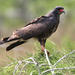 Snail Kite - Photo (c) John Beatty, all rights reserved