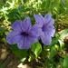 Ruellia spectabilis - Photo (c) Jarol Fernando Vaca, all rights reserved