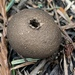 Umber-brown Puffball - Photo (c) panadora, all rights reserved