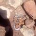 Elapsoidea loveridgei loveridgei - Photo (c) small axe, all rights reserved