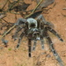 Goliath Birdeater - Photo (c) Julien B., all rights reserved