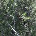 Zumaque - Photo (c) stoat77, todos los derechos reservados