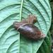 Euglandina gigantea - Photo (c) Allison Hren, todos los derechos reservados