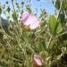 Malacothamnus foliosus - Photo (c) cacostamex, todos los derechos reservados