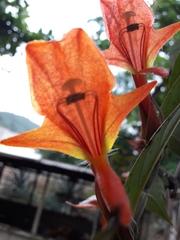 Columnea nicaraguensis image