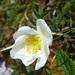Rosa spinosissima - Photo (c) Tig, כל הזכויות שמורות