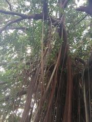 Image of Ficus elastica