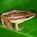 Hylarana macrodactyla - Photo (c) Mohd Abdul Muin Md Akil, todos los derechos reservados