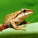 Pristimantis acutirostris - Photo (c) benjamin, all rights reserved, uploaded by Benjamin Tapley