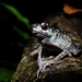 Spiny Slender Toad - Photo (c) benjamin, all rights reserved, uploaded by Benjamin Tapley