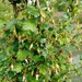 Spreading Gooseberry - Photo (c) Laura Taylor, all rights reserved