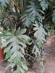 Philodendron radiatum image