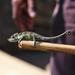 Uthmöller's Chameleon - Photo (c) Victoria Jackson, all rights reserved