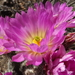 Echinocereus palmeri - Photo (c) Aaron Balam, all rights reserved