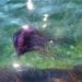 Cyanea lamarckii - Photo (c) Danny Small, todos los derechos reservados
