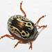 Calligrapha confluens - Photo (c) larry522, all rights reserved, uploaded by Larry Clarfeld