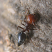 Crematogaster scutellaris - Photo (c) enricoschifani, all rights reserved, uploaded by Enrico Schifani