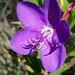Rhynchanthera grandiflora - Photo (c) Laurent Quéno, todos los derechos reservados