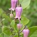 Clematis reticulata - Photo (c) Layla, todos los derechos reservados, uploaded by Layla Dishman